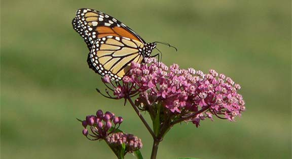 Swamp-milkweed-monarch