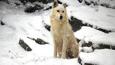 Wolf during winter sitting in the snow