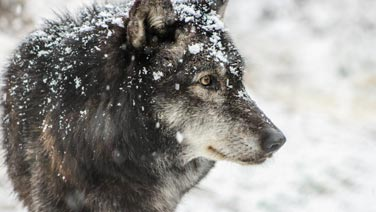 wolf looking into the distance with snow on its head