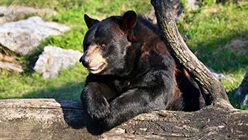 black bear leaning on a log